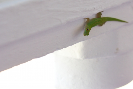Side shot of an endemic green gecko of the Seychelles, walking down a wooden pillar