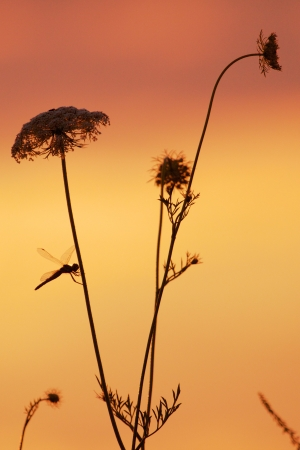 Dragonfly sitting on a yarrow plant in an amazing sunset Stock Photo - 15368721