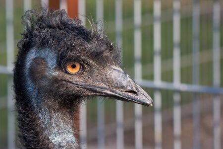 Closeup shot of a grumpy Emu bird from the side Stock Photo - 15368646