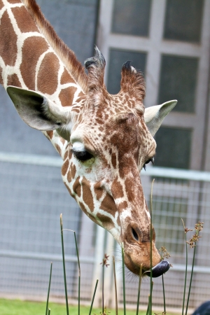 Cute giraffe eating from grass with its tongue out Stock Photo - 15368761