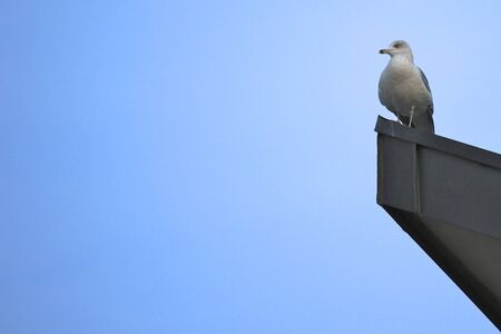 larus: Seagull standing on the edge of a rooftop, watching the scenery