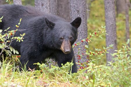 Canadian Black Bear hunting for berries in the woods of Jasper national park