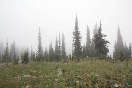 Foggy meadow with fir trees on Mt Revelstoke photo