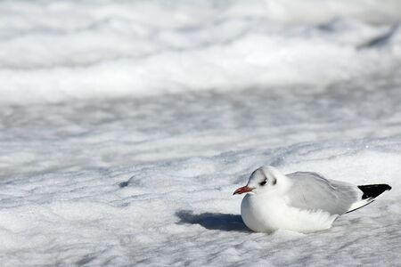 Bleack-headed gull sitting in the snow photo