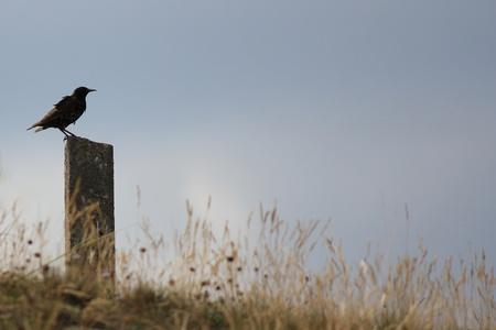 dishevel: Starling si siede nel vento su un palo di pietra su Spiekeroog isola, Germania