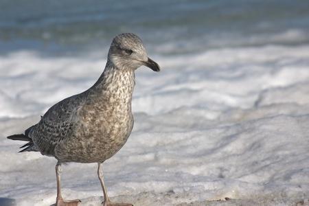 igrave: Seagull walking on a frozen beach on Ruegen Island, Germany