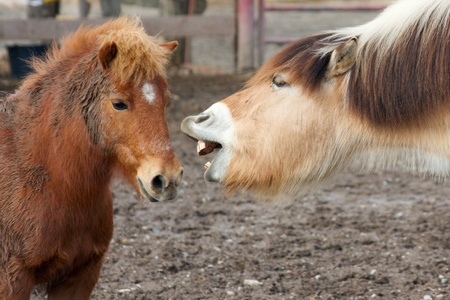 Funny horse talking to a small pony with big teeth and lips