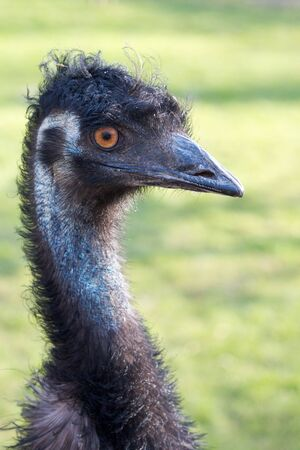 Vertical closeup shot of a grumpy Emu bird from the side Stock Photo - 15445008