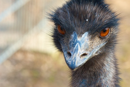 Closeup shot of a grumpy Emu bird from the front Stock Photo - 15445004