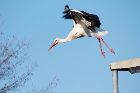 Stork flying away from a streelamp Stock Photo - 15445016
