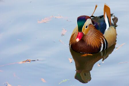Colorful mandarin duck swimming on a quiet pond in Karlsruhe, Germany Stock Photo - 15444999