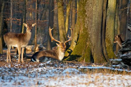 lordly: Deer in the evening sun of Karlsruhe forest, Germany Stock Photo