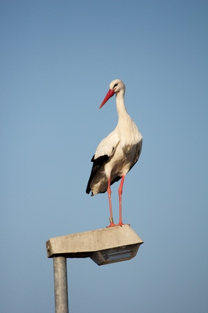 Stork standing on a streetlamp looking around for food Stock Photo - 15445014