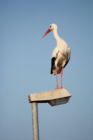 Stork standing on a streetlamp looking around for food Stock Photo - 15445010