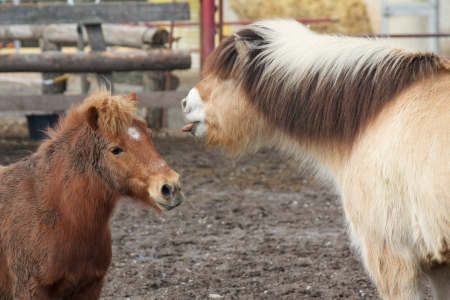 bah: Horses poke their tongues out at each other, having fun at the paddock