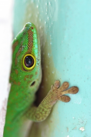 Macro shot of an endemic green gecko of the Seychelles, hiding behind a pole