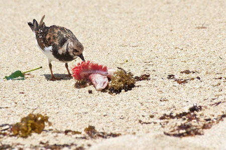 shore line: Sanderling bird pecking away on a carcass that it found at the beaches of Mahe island, Seychelles
