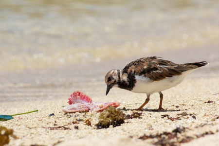 Cute sanderling seabird pecking away at a peace of seafood on the white sands of Anse Royale beach, Mahe island, Seychelles Stock Photo - 15458664
