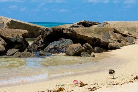 wade: Cute sanderling bird walking towards its food at the shore of Anse Royale beach, Seychelles