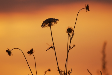 Dragonfly sitting on a yarrow plant in an amazing sunset Stock Photo - 15558751