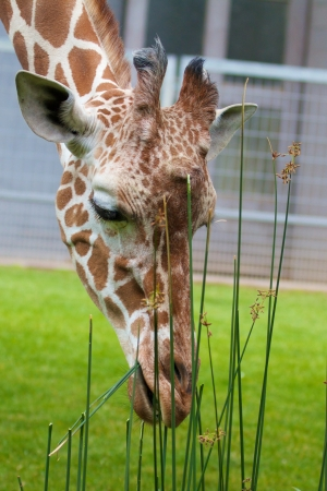 Cute young giraffe eating from grass Stock Photo - 15558743