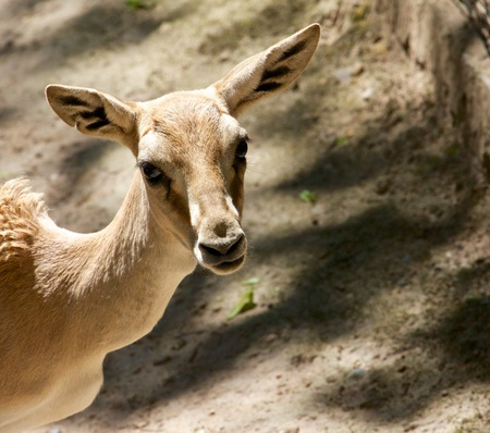 Young goitered gazelle looking suspicious Stock Photo - 15558779