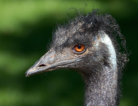 wingless: Vertical closeup shot of a grumpy Emu bird from the side
