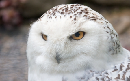 Snowy owl sitting quietly looking out for prey Stock Photo - 15558766