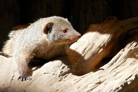 Grey mongoose looking out for its prey Stock Photo - 15558727