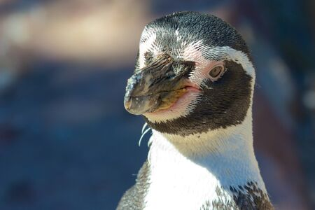 karlsruhe: Cute young Humboldt Penguin looking into the camera on a sunny summer day Stock Photo
