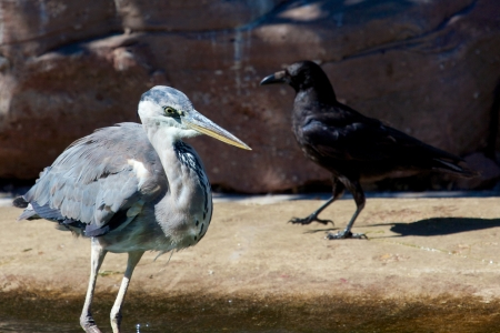 ardea: Grey heron looking out for fish to catch with a crow in the background