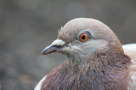 Relaxed common pigeon closeup photo