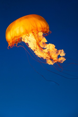 Colorful and glowing sea nettle jellyfish swimming in the dep blue sea Stock Photo - 16603553