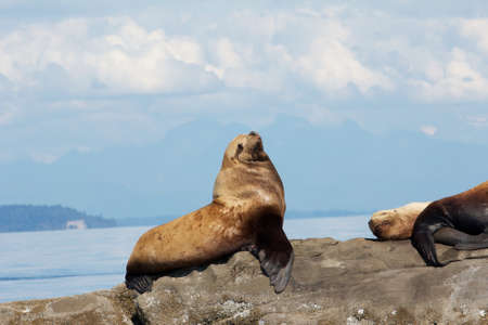 Canadian Stellar Sea Lions sitting on a rock close to Vancouver photo