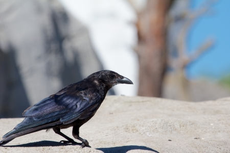 daw: Curious crow standing on a rock