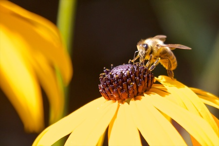 Busy honeybee working on the pollen of an echinacea Stock Photo - 17285482