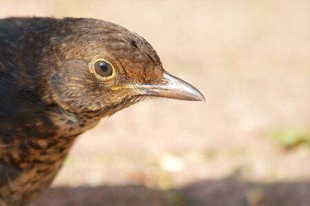 sweetwater: Extreme closeup shot of a female blackbird Stock Photo