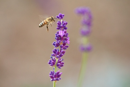 Cute honeybee arriving at a flower Stock Photo - 17285485