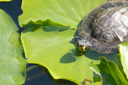 sweetwater: Lazy snapping turtle - also called snapper - sitting on water lily leaves