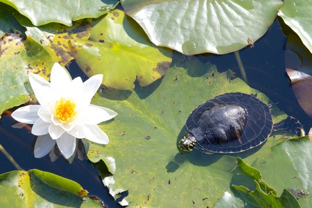 sweetwater: Relaxed snapping turtle - also called snapper - sitting on the leaves of a beautiful water lily