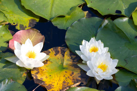 Water lilys and leaves on a lake Stock Photo - 17285493