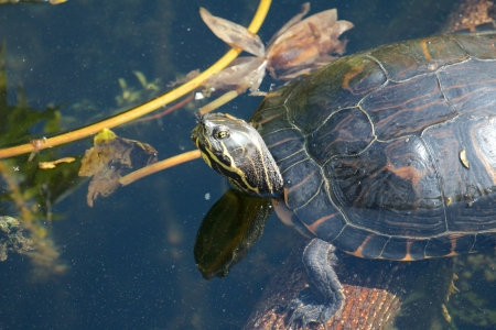 Snapping turtle - also called snapper - sitting on a tree trunk Stock Photo - 17285496