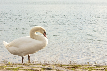 Beautiful young swan standing at a lake photo