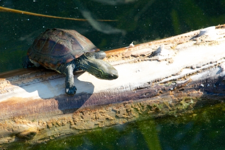 sweetwater: Young snapping turtle slowly climbing an old tree trunk in the water
