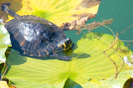 Snapping turtle - also called snapper - relaxing on a water lily leaf Stock Photo - 17336201