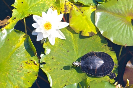 Relaxed snapping turtle - also called snapper - sitting on the leaves of a beautiful water lily Stock Photo - 17336226