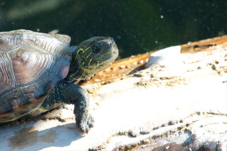 Closeup shot of a young snapping turtle on an old tree trunk Stock Photo - 17336168