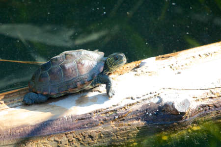 sweetwater: Young snapping turtle walking along an old tree trunk in the water