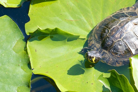 Lazy snapping turtle - also called snapper - sitting on water lily leaves Stock Photo - 17431298