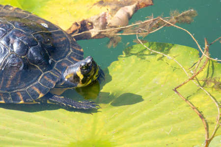 freshwater turtle: Lazy snapping turtle - also called snapper - sitting on water lily leaves
